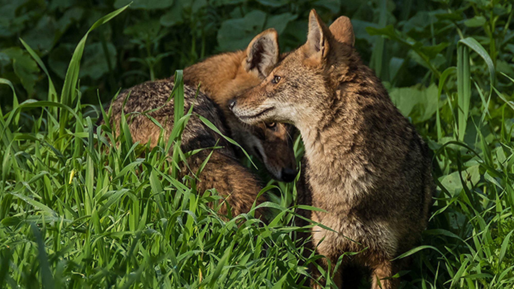 תנים בפארק הירקון (צילום: דורון מרגוליס)