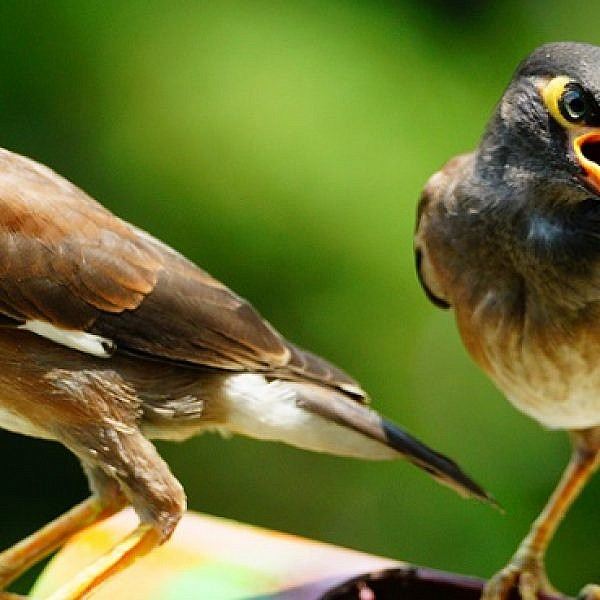 להשפיל מבט ולהחריש תפילה, ציפור מיינה מצויה (צילום shutterstock)