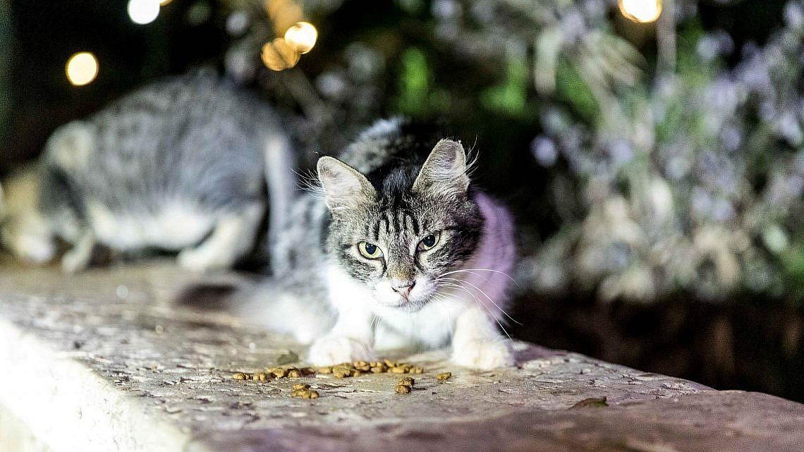 התפוצצות אוכלוסין אחרי הסגר. חתולי רחוב (צילום: דין אהרוני רולנד)