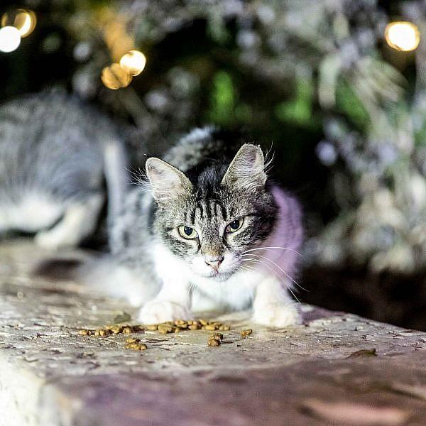 חתול רחוב (צילום: דין אהרוני רולנד)