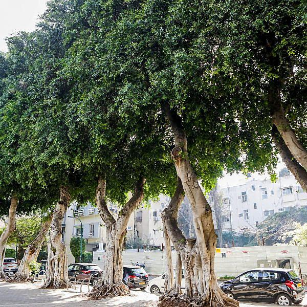 פיקוסים ברחוב לואי מרשל (צילום: שלומי יוסף)
