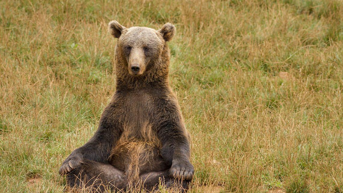 דוב מודט בטבע (צילום: שאטרסטוק)