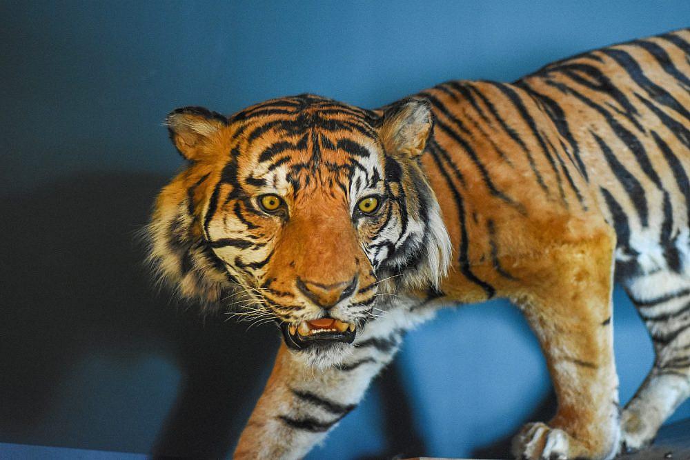 טיגריס סומטרי במוזיאון הטבע (צילום: סיון מויאל)