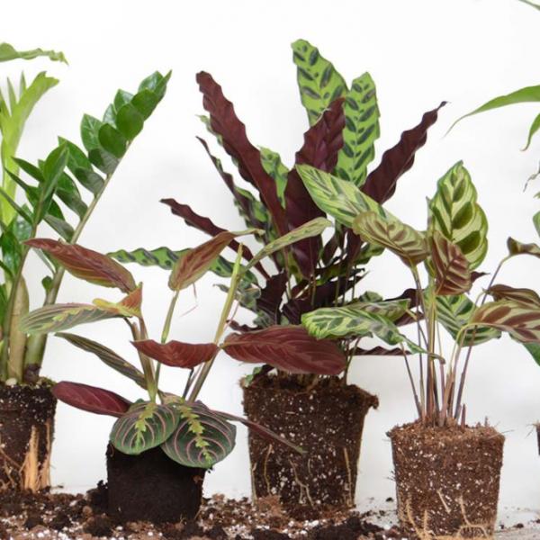 כבר פורחים פוטוסים בשמורות הטבע. צמחים של HOYA (צילום מסך מתור האתר)