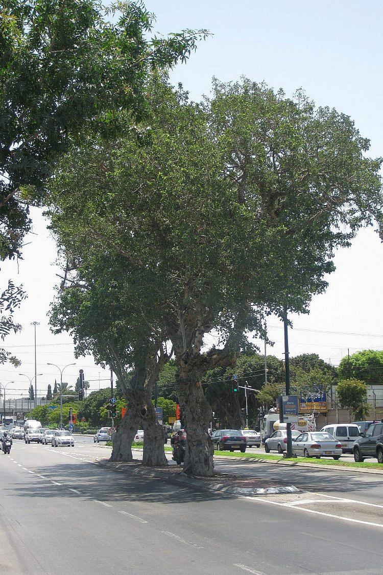 שלושת עצי השקמה בקיבוץ גלויות. אתר ידוע עבור אוהדי כדורגל הנוסעים לבלומפילד. צילום: דרור אבי, ויקיפדיה
